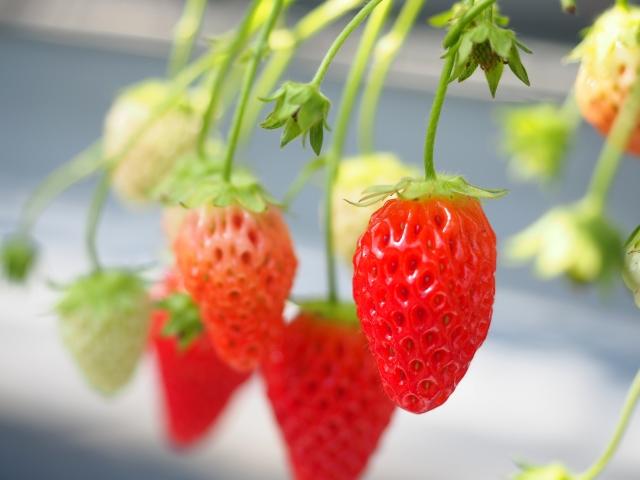 苺 イチゴ 本物