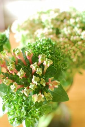 マクロウタセ 花緑